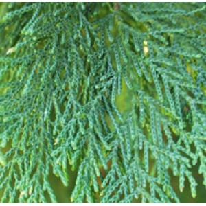 Cypress Essential Oil (France)
