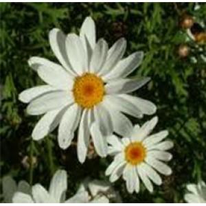 DAISY FLOWER WHOLE