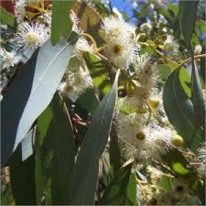 Eucalyptus Essential Oil (Radiata)