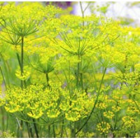 Fennel Sweet Essential Oil ORGANIC
