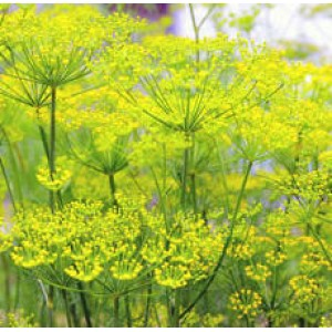 Fennel Essential Oil (Austria)