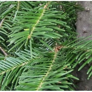 Fir Balsam Essential Oil (Canada)