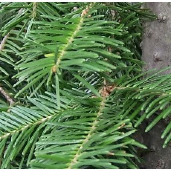 Fir Needle (Siberian)
