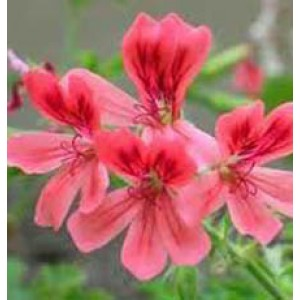 Geranium Essential Oil (India)