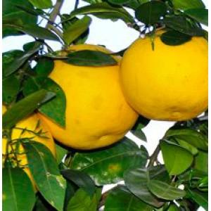 Grapefruit White Essential Oil (Italy)