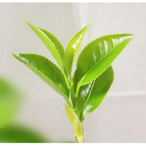 Green Tea Essential Oil (France)