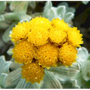 Helichrysum Essential Oil (Italy)