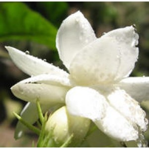 Jasmine Gradiflorum Water