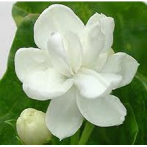Jasmine Dried Flower