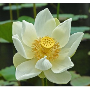 Lotus White Oil (India)