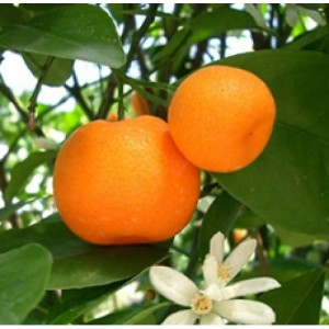 Mandarin Essential Oil (Italy)