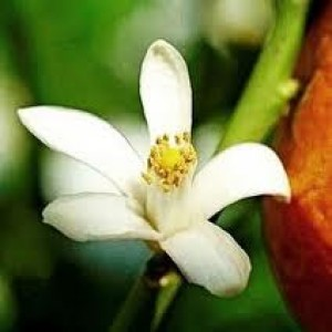 Neroli Essential Oil (Wild Crafted)