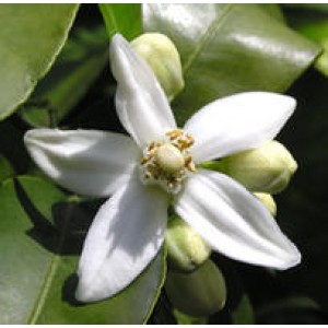 Neroli Essential Oil (Italy)