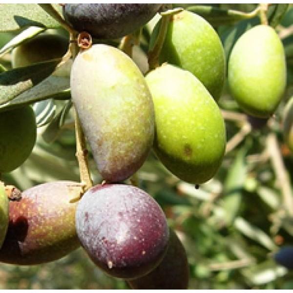 Olive Oil Extra Virgin (SPAIN)
