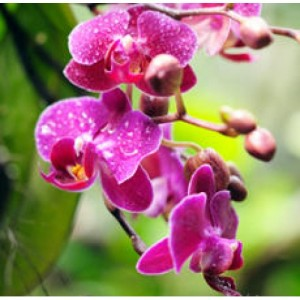 Orchid Flower Absolute Oil