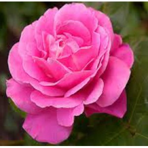 Rose Damask Absolute Oil (India)