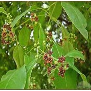 Sandalwood Essential Oil (Cosmetic)