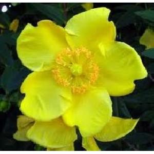 St John Wort Flower Oil